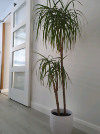 Feature house plant in ceramic pot bents garden mature
