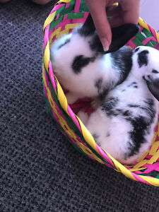 2 female 9 weeks old bunny