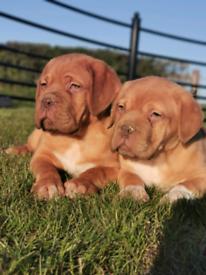Dogue De Bordeaux Pups