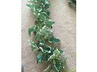 Garlands of ivy