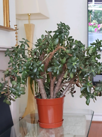 Large Jade/ Money Plant