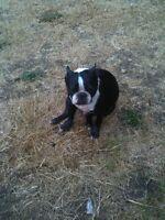 LOST Boston Terrier