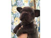3 kc reg blue french bulldog s left