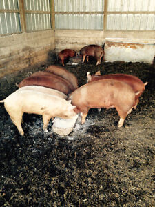 Pigs. Hereford x guilts