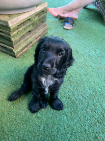 Spaniel in Leeds, West Yorkshire | Dogs & Puppies for Sale