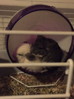 Chinchillas with cage and accessories