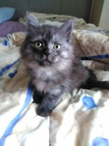 Gorgeous Hypoallergenic Tri-Colored Siberian Kitten