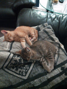Free Kittens- Brother and Sister- Great with Children!!!