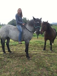 16 year old Blue Roan Mare