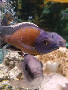 Red Fin Borleyi babies for sale