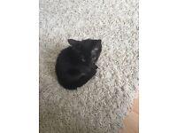 Last kitten left, half Sokoke breed and beautiful nature