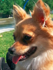 2 1/2 year old female pom NEEDS 4 EVER HOME