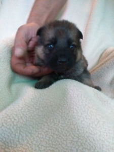 Berger allemand (chiots) German shepherd (puppies)