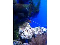 Marine shrimps