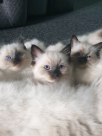 Ragdoll kittens | Cats & Kittens for Sale - Gumtree