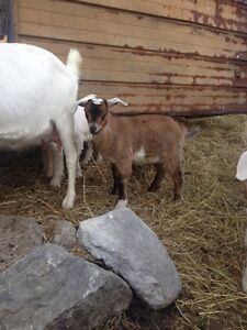 Polled Boer/Pygmy Goat for sale