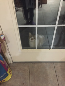 Yellow and white cat found
