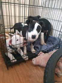 Staffy pup