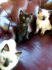 BLACK RAGDOLL 8 WEEKS OLD READY TO REHOME ABSOLUTELY GORGEOUS £399