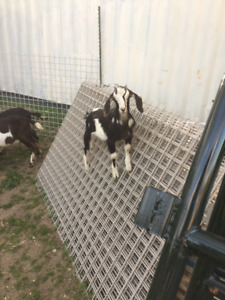 Friendly Goats For Sale