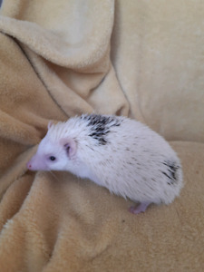 Hedgehogs for sale in Hastings, On
