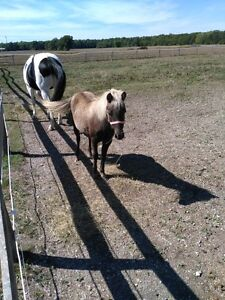 Paint Horse and Shetland Pony For Sale