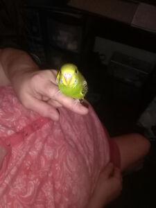 1 baby budgie bird left 8 weeks old
