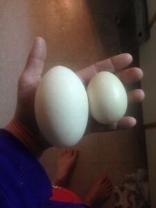 Lots of hatching eggs for sale
