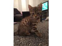 Bengal kitty (Male)