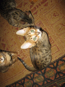 BEST PRICE AROUND $600.00 FOR A GORGEOUS PUREBRED BENGAL CUB