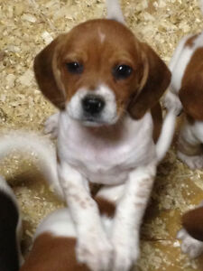 ***Full Breed Beagle Puppies for Sale***