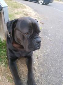 Mastiff | Dogs & Puppies for Sale - Gumtree