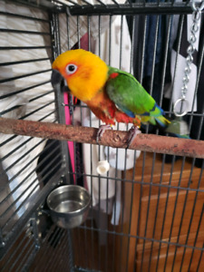 Jenday conure with cage