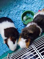 Two male guinea pigs for FREE!