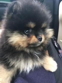 Luxury Teddy Bear Male Pomeranian Puppies