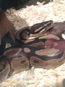 Archie the Ball Python. Snake and Tank - Must Sell !