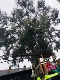 Free Eucalyptus wood/leafs