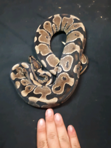 Yellow belly ball pythons