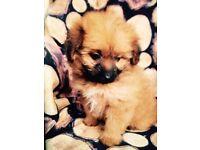 Pompoo puppy