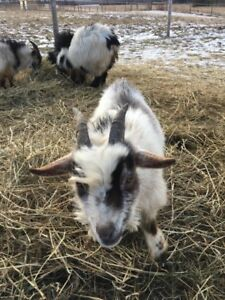 Nigerian Dwarf - Male Goat - Buck - For Sale