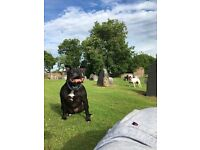 Staffordshire bull terrier free to good home