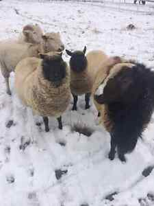Various sheep for sale