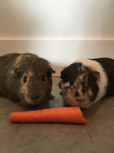 2  four month old male guinea pigs  & cage $50