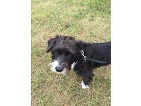 Jack russle cross Canine