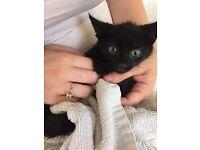 Boy kitten for sale 9weeks