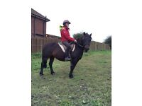 Pony club mare for sale