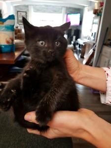 Kittens  2 pure black kittens!