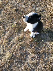 Puppies to good home