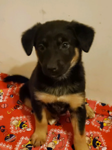*SOLD* German Shepherd/Collie/Mix puppies for sale.