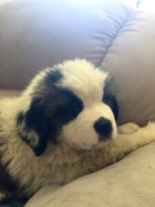 Male St Bernard Pup for sale.Ready to go now. Last pup left.